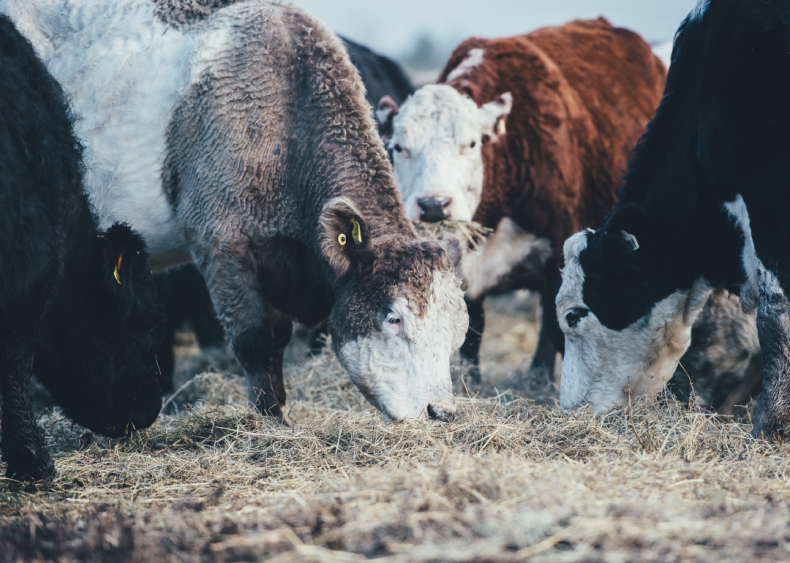 Cattle are significant gas emitters