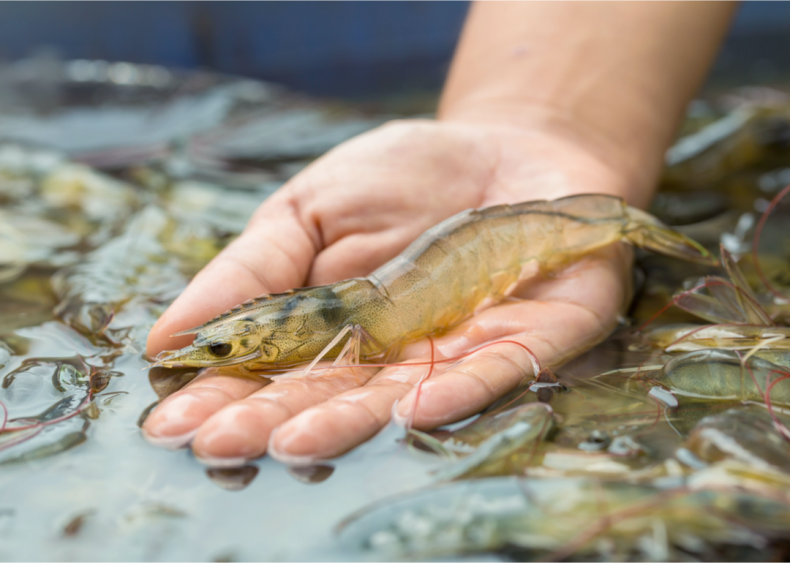 Aquaculture can use more energy than livestock production