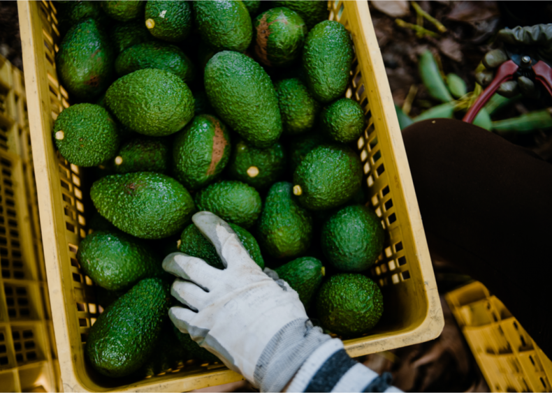 Avocado demand is driving deforestation and water shortages