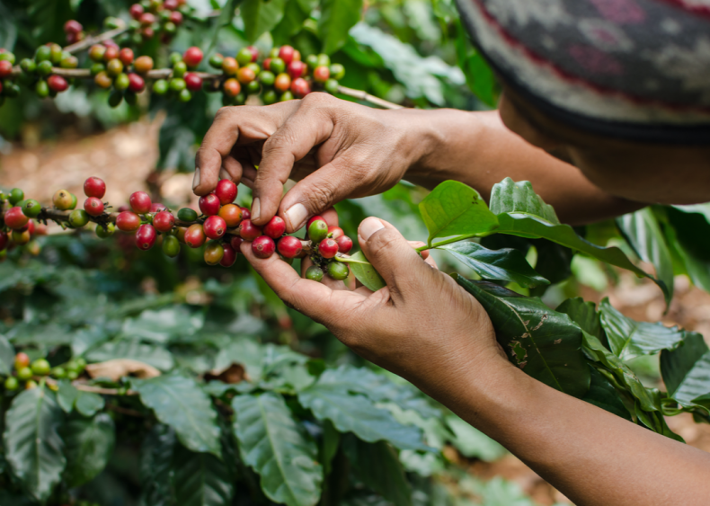 Coffee can lead to deforestation and hurt biodiversity