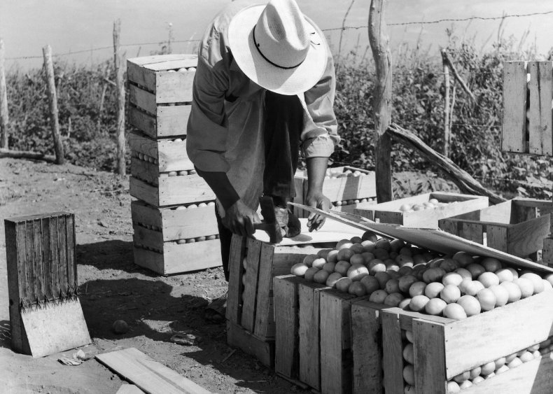 1959: Professor invents machine-harvestable tomato