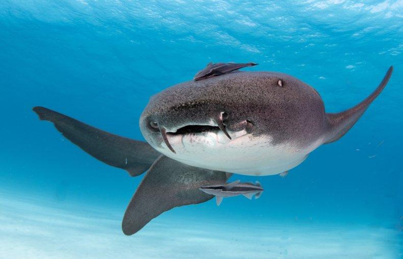 nurse shark, stock, getty