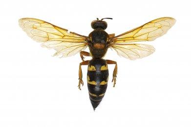 eastern-cicada-killer-murder-hornet