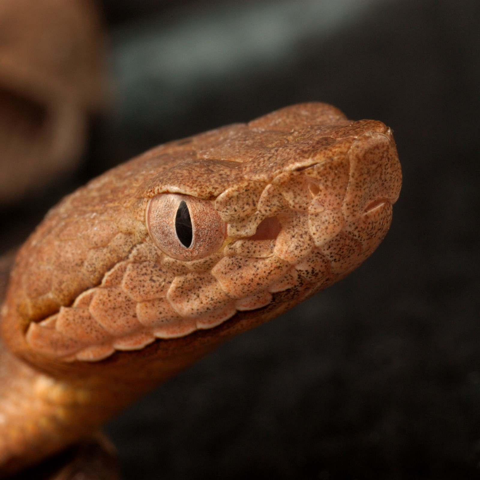 It S Baby Copperhead Snake Season Here S What You Need To Look Out For