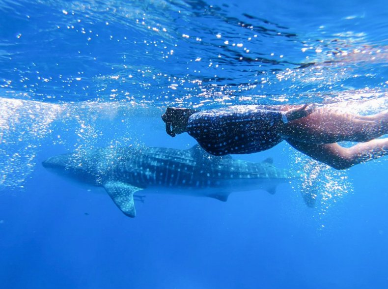 Kellee Edwards swims with whale sharks
