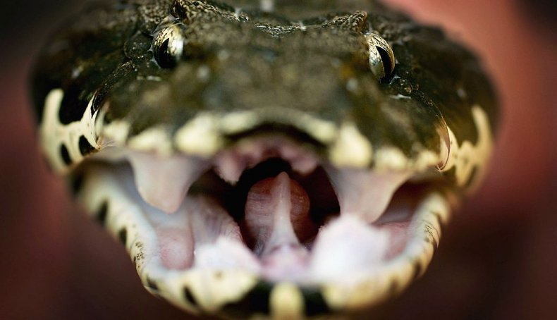 Death Adder Snake