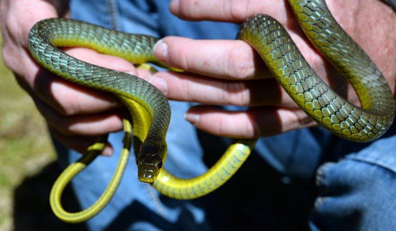 Tree snake Australia