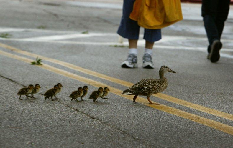 Ducks crossing street