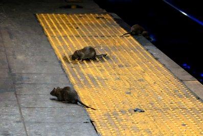 Rats on a Subway Platform NYC