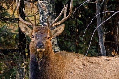 elk, colorado, Rocky Mountain National Park, wildlife