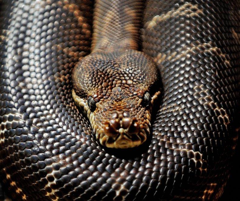 Carpet python snakes in Australia Sydney 2009