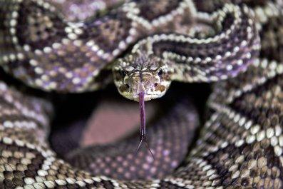 Rattlesnake in Brazil November 2019