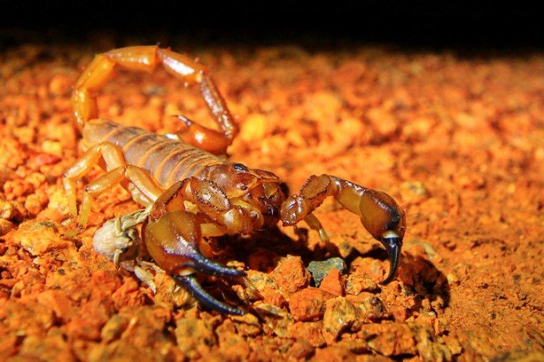 australia scorpion