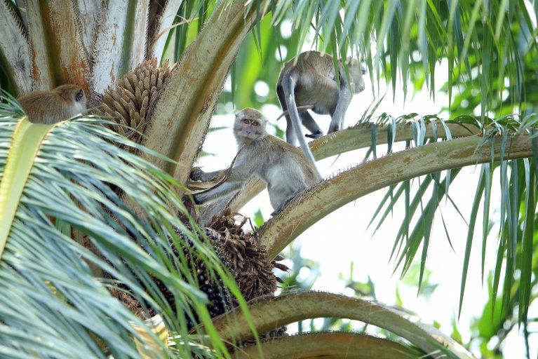 Malaysia Monkey