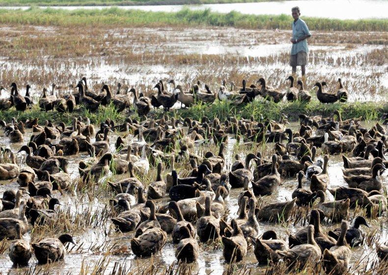 ducks-thailand