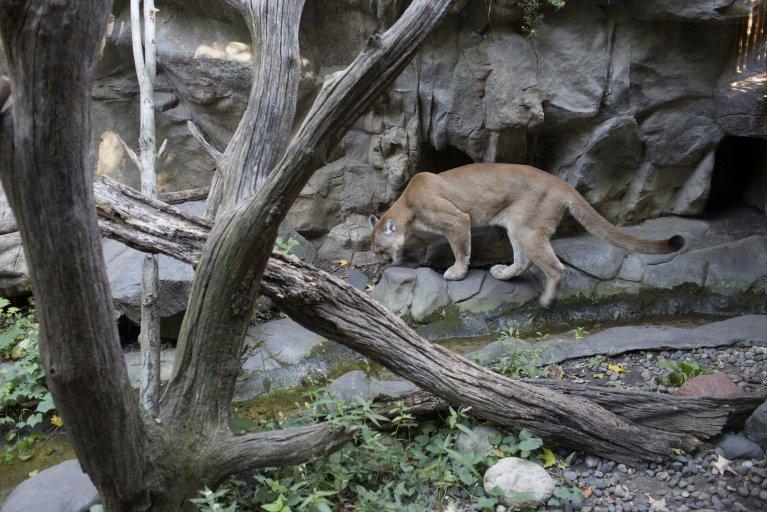 Mountain Lion MN Zoo