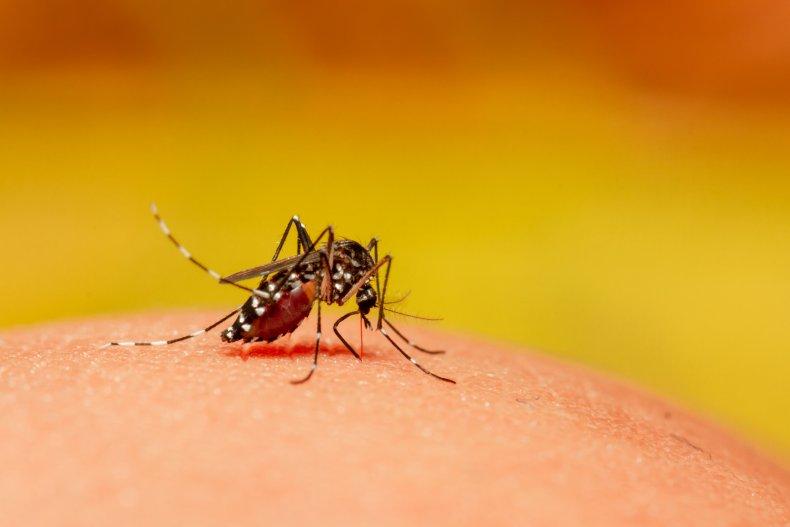 mosquito, dengue, stock, getty