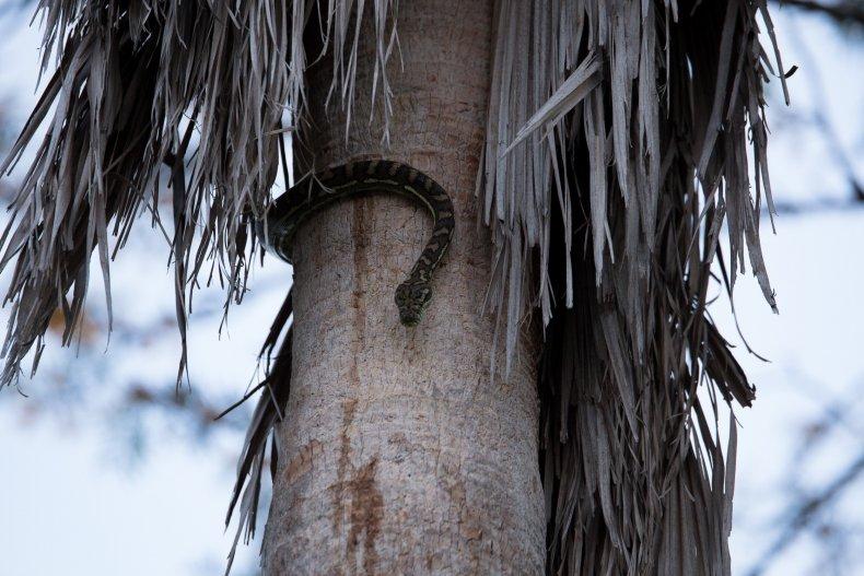 snakes carpet python Brisbane Australia