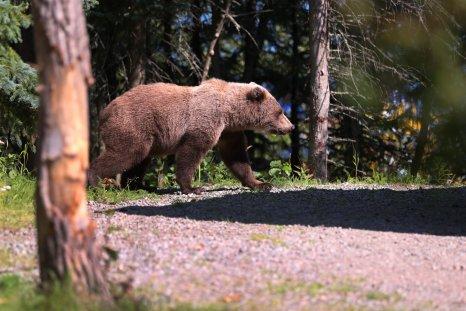 Brown bear Alaska Katmai National Park