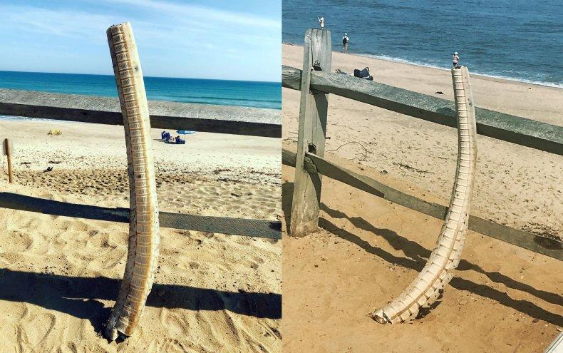 shark spine