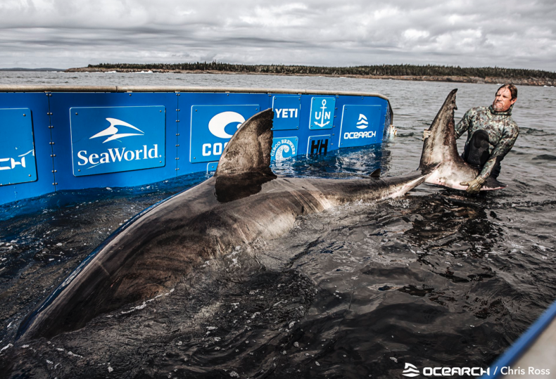 Nukumi great white shark