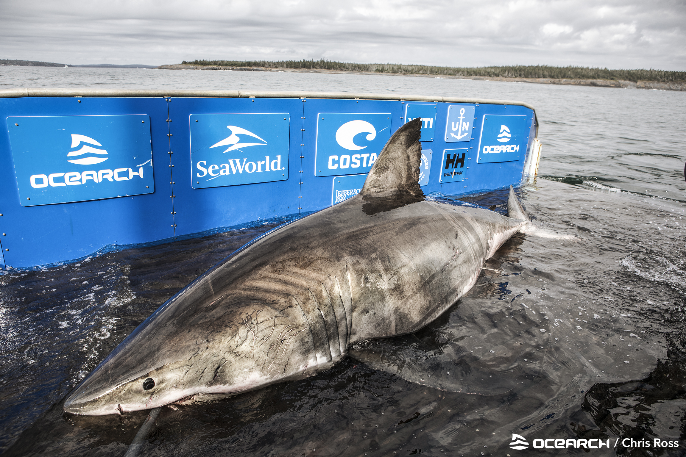 "Scientist on catching great white shark dubbed queen of the ocean—""You sense its age and get this feeling of ancientness"""