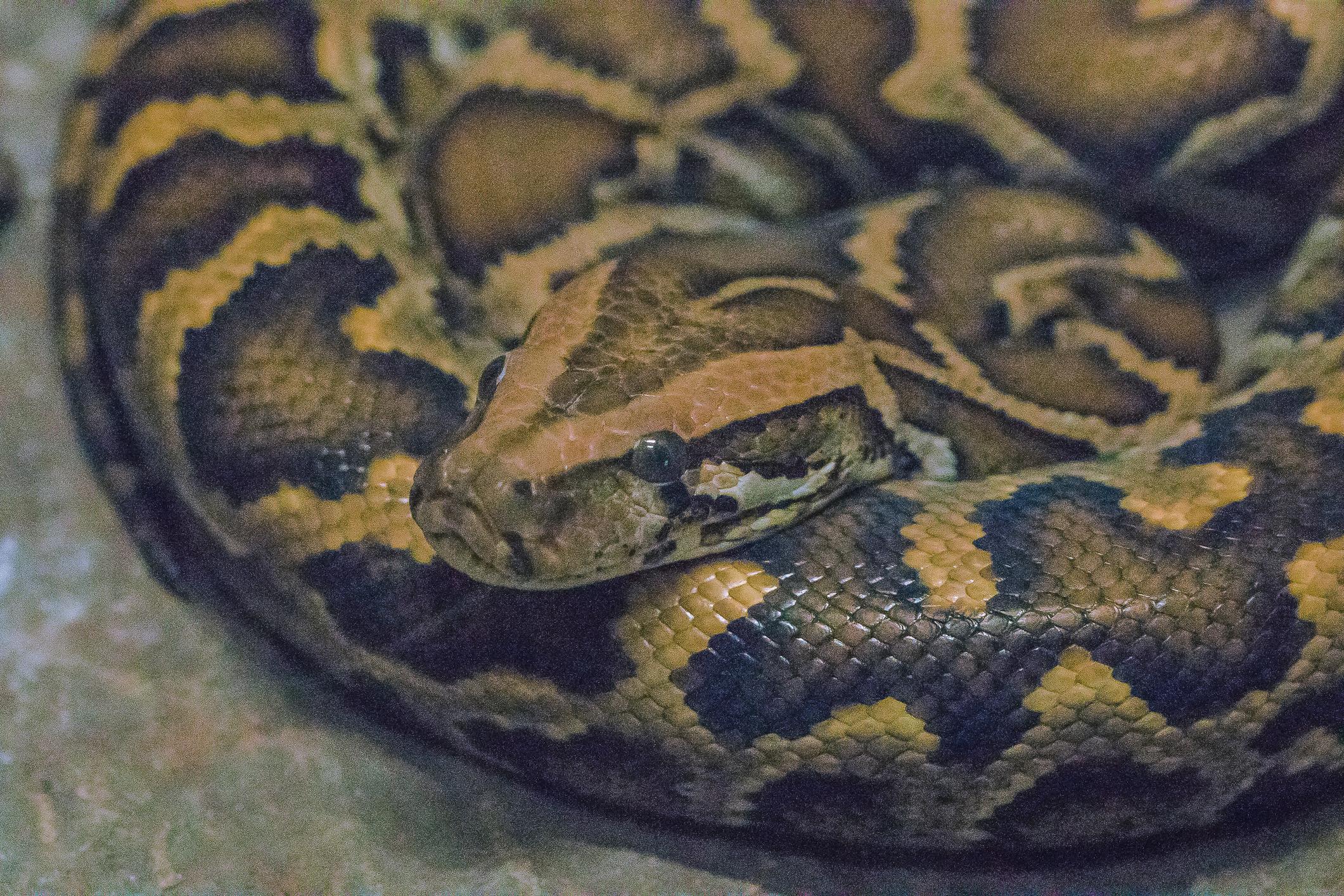 Twenty Burmese pythons discovered in Utah man's house
