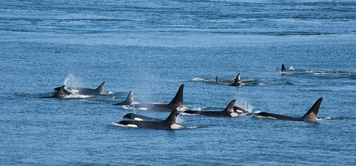 Killer whales appear to have massacred four bowheads in an Arctic bay
