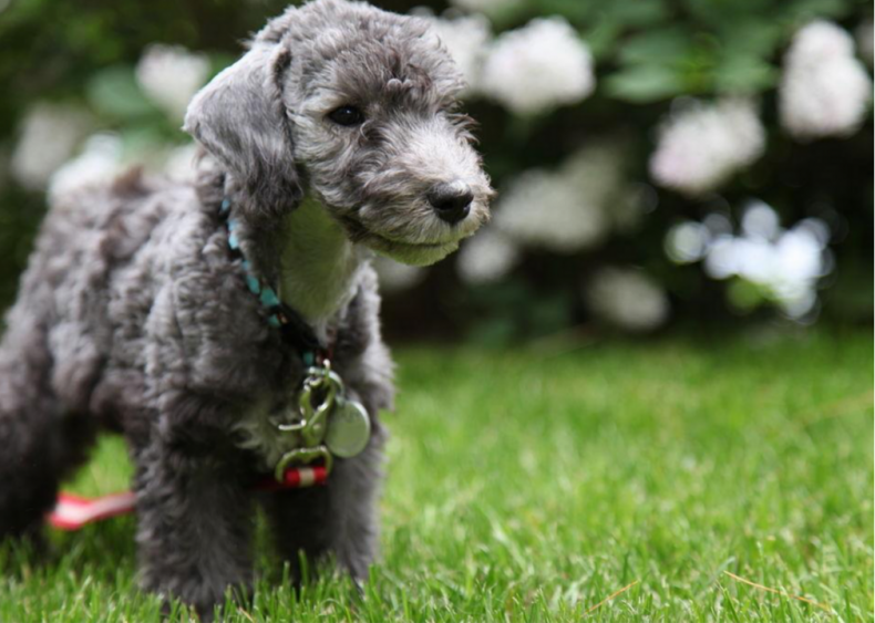#18. Bedlington terrier