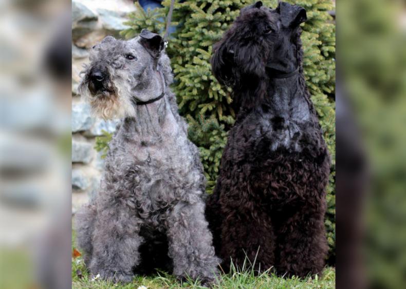 #15. Kerry blue terrier