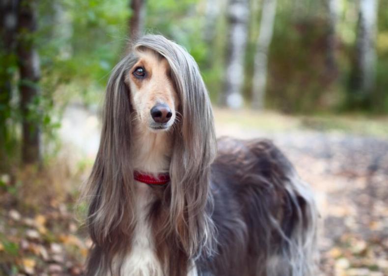 #13. Afghan hound