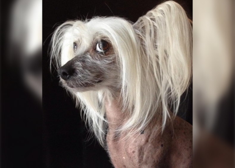 #9. Chinese crested