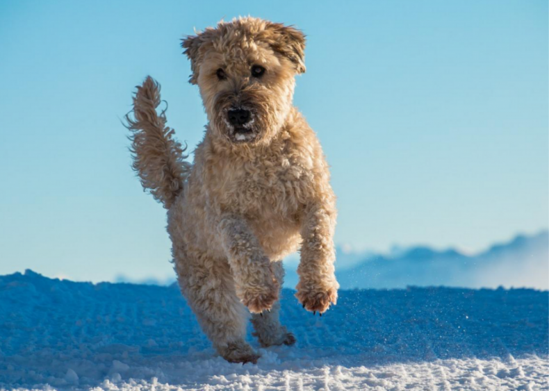 #7. Soft-coated Wheaten terrier