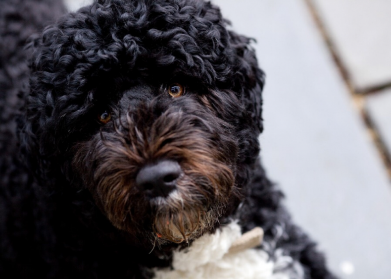 #6. Portuguese water dog