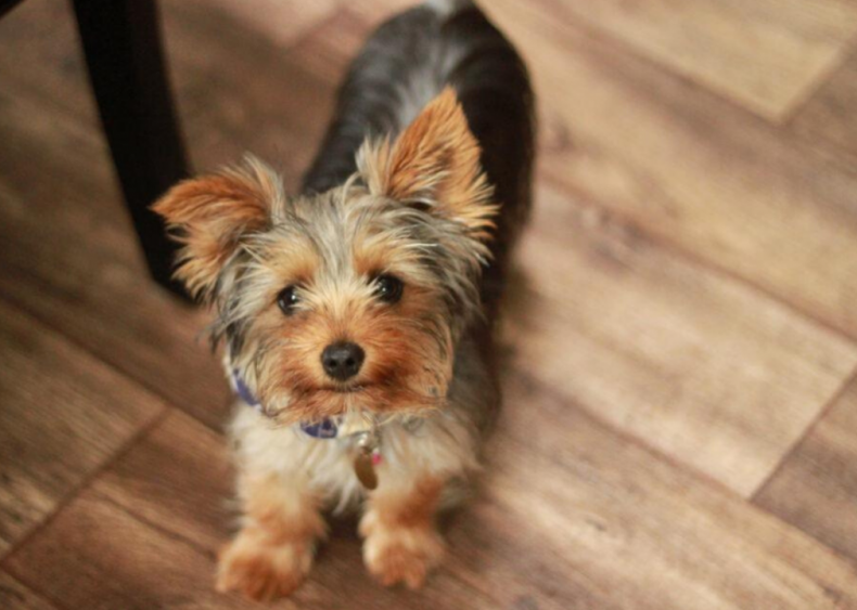 #2. Yorkshire terrier