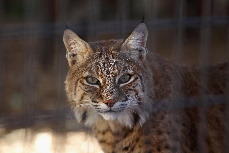 bobcat - photo #1
