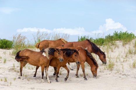 Assateague Island, Chincoteague pony, hoses, getty, stock