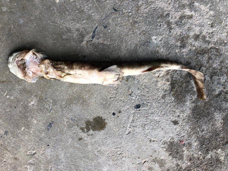 puffadder shyshark
