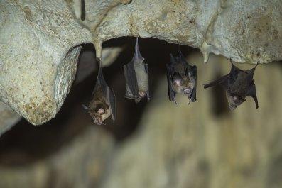 bats, coronavirus, pandemic, disease, science