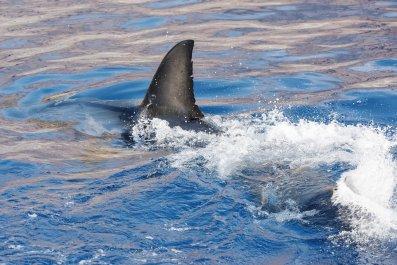 Shark fin in ocean