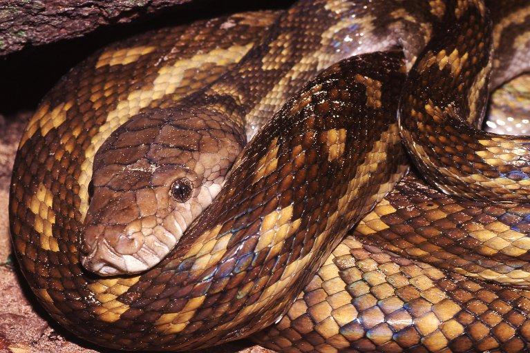 scrub python, python, snake, snake attack