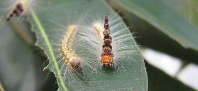 Mad Hatterpillars