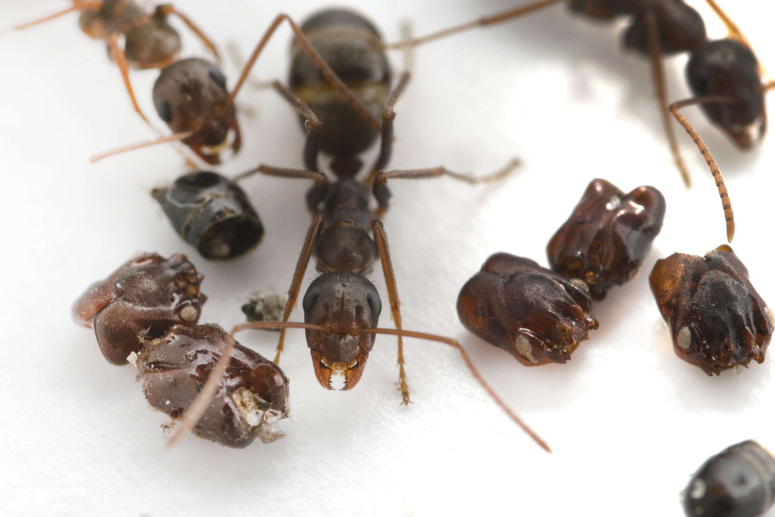 These ants spray their victims with acid before decorating their nests with their skulls