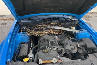 python mustang