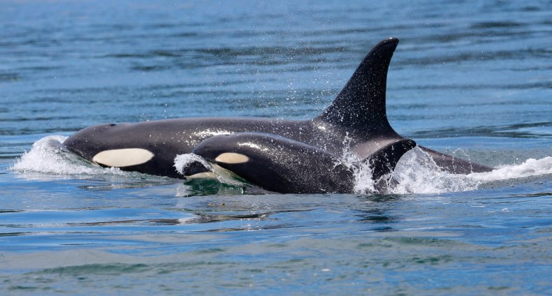 orca, killer whale, stock, getty