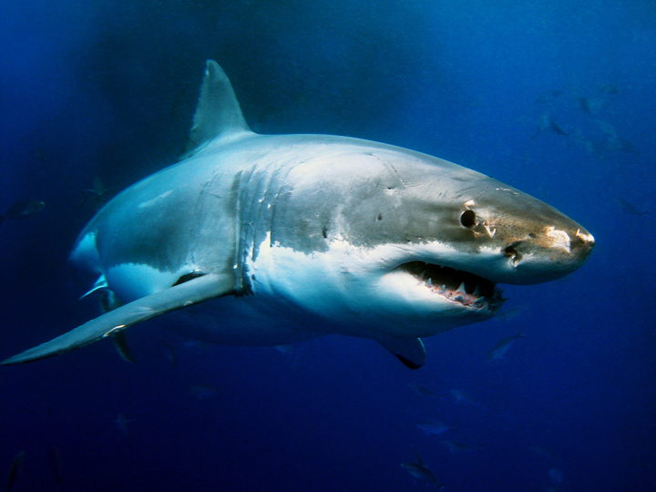 Katherine the great white shark who vanished for over a year turns up just before election