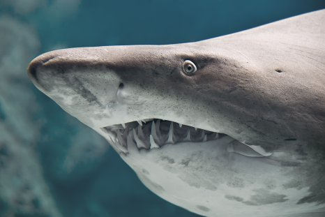 bull shark, stock, getty,