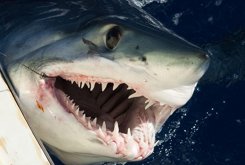 Shark killed by swordfish prompts fears of overfishing impact on predators