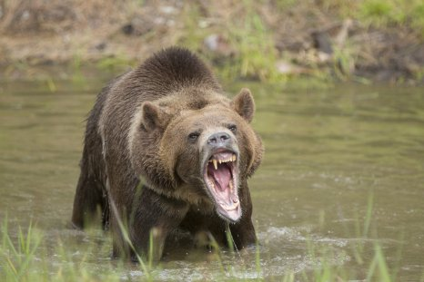 grizzly bear, brown bear, stock, getty
