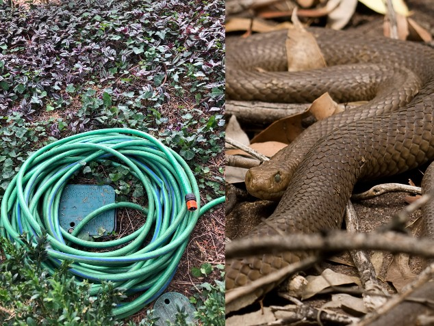 "Extremely venomous snake caught trying to mate with garden hose—""he must have been confused"""